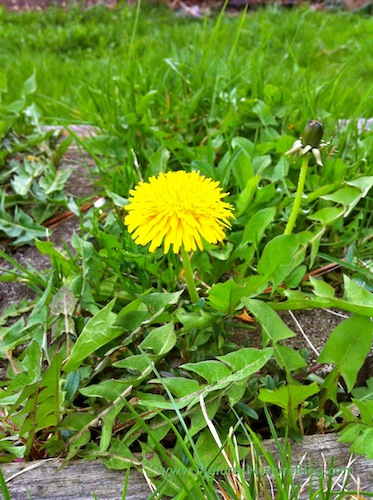 dandelion greens and flowers recipes