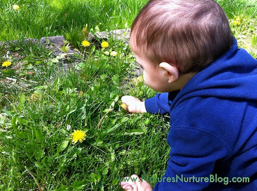 forgaing for dandelions