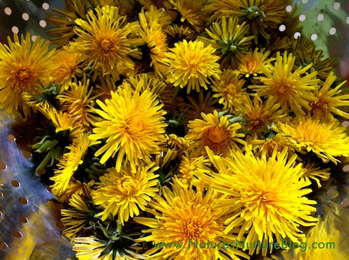 Dandelion flowers are steeped overnight, then sweetened with cane sugar and raw honey, and simmered until thickened into a sweet dandelion syrup. Perfect for waffles and pancakes!