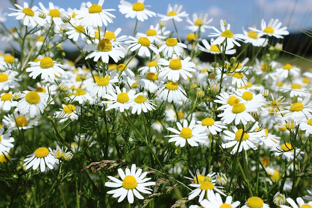 Chamomile - Wild Edibles to Replace Grocery Staples