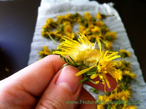 forgaing for dandelions
